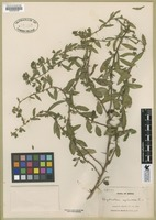 Filed as Hydrolea spinosa [family HYDROPHYLLACEAE]