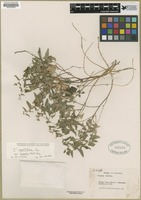 Filed as Tragia nepetifolia Cav. var. dissecta Muell.-Arg. [family EUPHORBIACEAE]