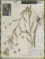 Isotype of Oenothera fruticosa L. var. unguiculata Fernald [family ONAGRACEAE]