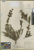 Isotype of Penstemon ophianthus Pennell [family SCROPHULARIACEAE]