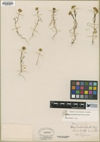 Filed as Lasthenia chrysostoma (Fisch. & C.A. Mey.) Greene [family ASTERACEAE]
