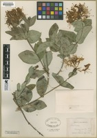 Filed as Lonicera [family CAPRIFOLIACEAE]