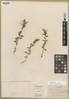 Filed as Epilobium clavatum Trel. [family ONAGRACEAE]
