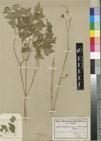 Type of Annesorhiza altiscapa Schltr. [family APIACEAE]