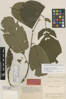 Holotype of Rollinia chocoensis R.E.Fr. [family ANNONACEAE]