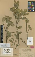Holotype of Buxus excisa Urb. [family BUXACEAE]