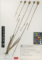 Isotype of Xyris diaphanobracteata Kral & Wand. [family XYRIDACEAE]