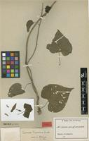 Isotype of Ipomoea hierniana Rendle [family CONVOLVULACEAE]
