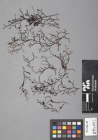 Isotype of Frullania hastatistipula Steph. [family JUBULACEAE]