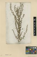 Type of Artemisia japonica Thunb. [family ASTERACEAE]