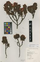 Isotype of Cyclopia squamosa A.L.Schutte [family FABACEAE]