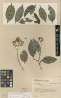 Isotype of Erisma gracile Ducke [family VOCHYSIACEAE]