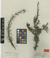 Type of Grevillea acicularis Schult. & Schult.f. [family PROTEACEAE]