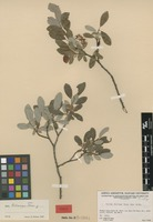 Isotype of Salix fallax Raup [family SALICACEAE]