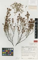 Isotype of Erica chiroptera E.G.H.Oliv. [family ERICACEAE]