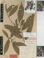 Holotype of Duguetia amazonica R.E.Fries [family ANNONACEAE]