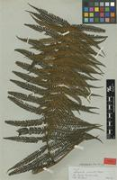 Type of Alsophila canelensis Rosenst. [family CYATHEACEAE]