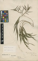 Filed as Lasiacis divaricata (L.) Hitchc. [family POACEAE]