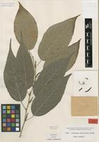 Type of Acalypha salicioides Rusby [family EUPHORBIACEAE]