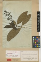 Type of Rondeletia rohrii R.O.Williams & Cheeseman [family RUBIACEAE]