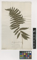 Filed as Polypodium parasiticum L. [family THELYPTERIDACEAE]