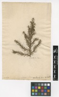 Filed as Juniperus chinensis L. [family CUPRESSACEAE]