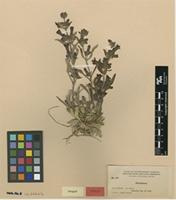Isotype of Penstemon paysonii Pennell [family PLANTAGINACEAE]