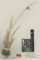 Syntype of Cyperus andschoa A.Rich. [family CYPERACEAE]