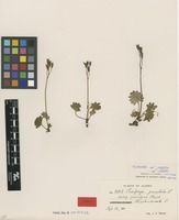 Syntype of Saxifraga punctata L. subsp. pacifica [family SAXIFRAGACEAE]