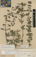 Holotype of Declieuxia dusenii Standl. [family RUBIACEAE]