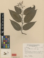 Isotype of Secondatia duckei Markgr. [family APOCYNACEAE]