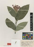Type of Beloperone allenii Leonard [family ACANTHACEAE]