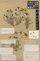 Lectotype of Papaver radicatum Rottb. subsp. occidentale Lundstr. [family PAPAVERACEAE]