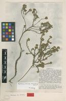 Isolectotype of Lathriogyna parvifolia Eckl. & Zeyh. [family FABACEAE]