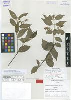 Isotype of Chiococca vestita Lundell [family RUBIACEAE]