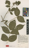 Isotype of Rubus aethiopicus R.A.Graham [family ROSACEAE]