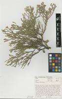 Isotype of Pterothrix tecta Brusse [family ASTERACEAE]