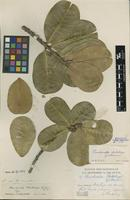 Holotype of Planchonella skottsbergii Guillaumin [family SAPOTACEAE]
