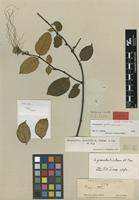 Isotype of Strophanthus scaber Pax [family APOCYNACEAE]