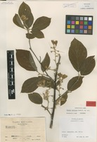 Isotype of Styrax vestitus Lundell [family STYRACACEAE]