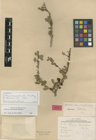Isotype of Schinus marchandii F.A.Barkley [family ANACARDIACEAE]