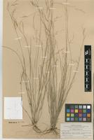 Type of Aristida neglecta León [family POACEAE]