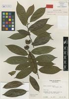 Isotype of Annona rufa Lundell [family ANNONACEAE]
