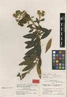 Isotype of Buddleja vexans Kraenzl. & Loes. ex E.M.Norman [family LOGANIACEAE]