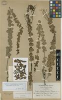 Isotype of Cassia brachystachys Harms ex Glaz. [family FABACEAE]