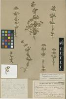 Type of Bacopa villosa Pennell [family SCROPHULARIACEAE]