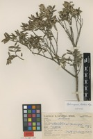 Isotype of Siphoneugena reitzii D.Legrand [family MYRTACEAE]
