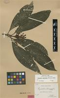 Isolectotype of Grumilea dolichantha K.Schum. [family RUBIACEAE]