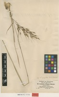 Isotype of Loudetia elegans Hochst. ex A.Braun [family POACEAE]