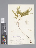 Holotype of Thamnobryum maderense Kindb. [family NECKERACEAE]